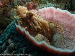 BD-060408-Pescador-Island-4080612-Scorpaenopsis-oxycephala-(Bleeker.-1849)-[Caledonian-devilfish].jpg